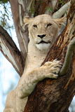 Tree lion Stock Image