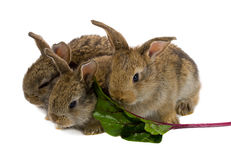 Tree little rabbits eating the leaf of red beet Royalty Free Stock Photography