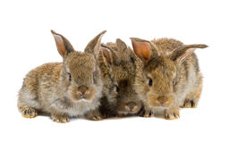 Tree little rabbits isolated Royalty Free Stock Images