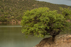 Tree living on the edge. Royalty Free Stock Photo
