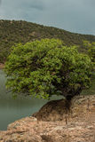 Tree living on the edge. Royalty Free Stock Image