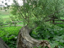 The tree is living. A fallen tree in garden Stock Photos