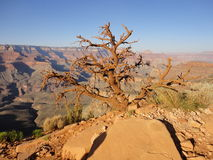 Tree living in the Grand Canyon Stock Image