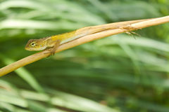 Tree lizard Stock Photo