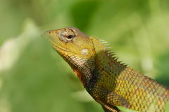 Tree Lizard. Monitor lizard in the parks stock images