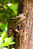 Tree lizard Stock Images