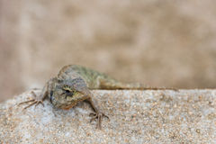 The tree lizard disguises on the brown rock Stock Photo
