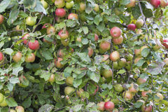 Tree loaded with apples Royalty Free Stock Photography