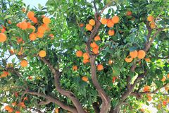 Tree loaded with oranges against a blue sky in Sicily royalty free stock images
