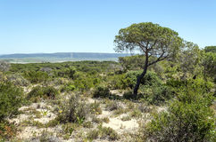 Tree located in the dunes Royalty Free Stock Photo
