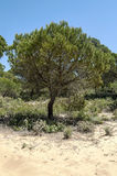 Tree located in the dunes Royalty Free Stock Images