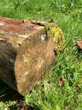Tree Log. Close up picture of a tree log showing Growth Rings with moss growing on it Royalty Free Stock Images