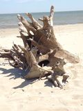 Tree log on sea. Tree log from Danube Delta, Sf. Gheorghe, Romania Stock Images