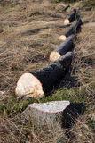 Tree logs cut in line, spruce stump Stock Image