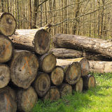 Tree logs in a forest stacked next to a pathway Royalty Free Stock Photography