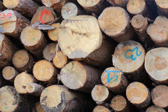 Tree logs pile. Large pile of cut timber firewood tree logs Royalty Free Stock Photo