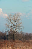 Tree. Lone tree in field with blue sky Royalty Free Stock Photo