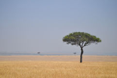 Tree. Lonely tree in the middle of the African savannah Royalty Free Stock Photo