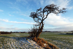 Tree lonely in winter countryside landscape Royalty Free Stock Photos