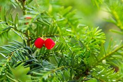Tree-long-liver, poisonous tree Taxus baccata. Tree-long-liver, poisonous tree, valuable tree, medlennorastuschee tree, evergreen tree — at a yew baccate royalty free stock photos
