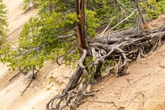 Tree with long roots above the ground at Artist Point in the Grand Canyon of the Yellowstone, Yellowstone National Park royalty free stock photo