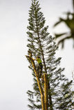 Tree Lopping. Arborist high on a tree trunk with ropes and safety gear lopping a large tree trunk in small sections Royalty Free Stock Images