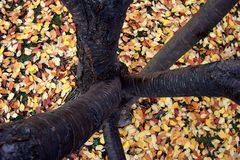Tree losses its leaves in the Fall. This tree colorfully covers the ground with its once green leaves royalty free stock image