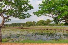 TREE on lotus park Stock Image