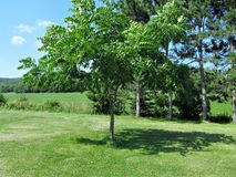 Tree of Love. This is Walnut tree growing out in a lawn that was planted by my Dad who was dear loving man Stock Images
