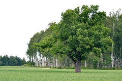 Tree. Lovely young tree growing on the field Royalty Free Stock Images