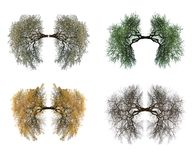 Tree lungs. Isolated on white. All seasons royalty free stock images