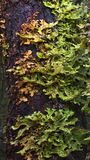Tree Lungwort Royalty Free Stock Image