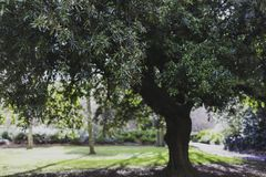 Tree with lush foliage in city park. In Dublin shot at shallow depth of field Royalty Free Stock Photos