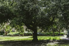 Tree with lush foliage in city park. In Dublin shot at shallow depth of field Royalty Free Stock Images