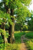 Tree with lush foliage. In spring park Stock Images