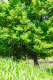 Tree lush leaves in summer Royalty Free Stock Photos