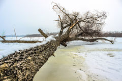 Tree lying down in winter Royalty Free Stock Images