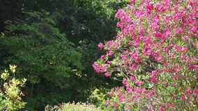 A tree with magenta flowers. Shot of a magenta flowers tree with some copy space on the other side stock video