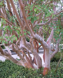 Tree mahogany (Arbutus andrachne L ) grows in the Crimea Stock Images