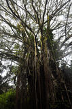 Tree. Majestic tree with multiple roots. Found in Kaneohe Hawaii 2012 Royalty Free Stock Image