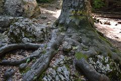 Tree coming out from a massive rock. Royalty Free Stock Photography