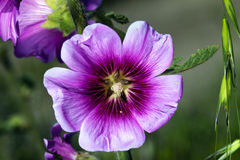Tree Mallow Macro Stock Image
