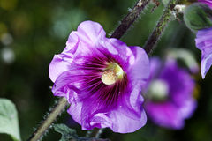 Tree Mallow Macro Royalty Free Stock Photo