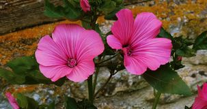 Tree Mallow, lavatera sp., Normandy stock video footage