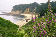 Tree Mallow Malva Arborea in bloom; foggy coastal landscape in the background Royalty Free Stock Photos