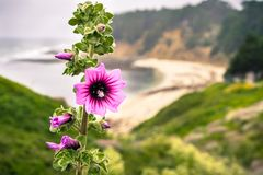 Tree Mallow Malva Arborea in bloom Stock Image