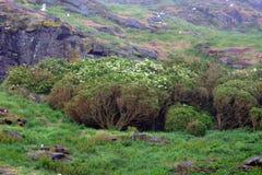 Tree mallows, Craigleith Island, Scotland. Tree mallows in Craigleith Island, Scotland Royalty Free Stock Images