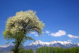 Tree of Malus Sieboldii and Mt. Yatsugatake Stock Images