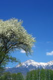 Tree of Malus Sieboldii and Mt. Yatsugatake Royalty Free Stock Photography