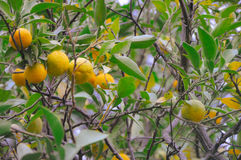 Tree with mandarin fruit shot in the vintage film Royalty Free Stock Photo